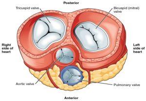 Anatomy of the Hear valves